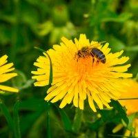Пчела на работе :: Юрий Рекеть