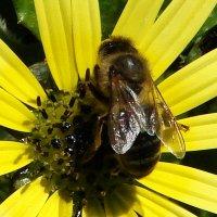 майский мёд. :: Olga Grushko