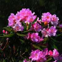 Рододендроны под дождем. :: Николай Кондаков