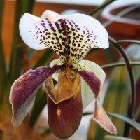 орхидея :: нина полянская