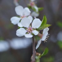 Цветочек сибирской вишни :: Александра Сангстер