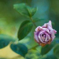 Изгибы розы :: Анастасия Бывших