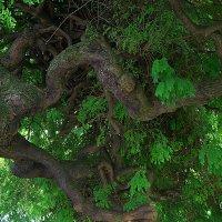 Дерево корнями наверх :: Оксана Ветрова
