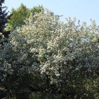 Белый цвет яблони :: Наталья Золотых-Сибирская
