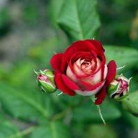 О Розе.... :: Виолетта
