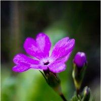 Цветик :: Valery Arhipovich