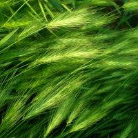 Майская трава :: Татьяна Пальчикова