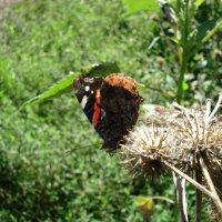 Бабочка :: Александра Старых