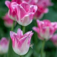 Тюльпаны :: Лариса Фёдорова