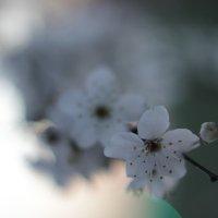 А сакура цветет... только у нас она называется по-другому:) :: G Nagaeva