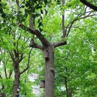 Дерево-скворечник :: Сергей Афанасьев
