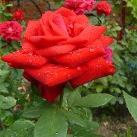 роза после дождя :: Владимир
