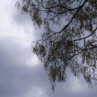Березка на фоне хмурого неба :: Anna Khovrenkova ...
