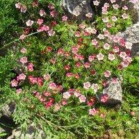 Цветы и камни :: Анатолий