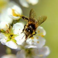 Сбор нектара :: Виктор Ковчин
