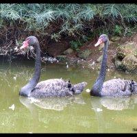 черные лебеди :: Vitaliy Kononov