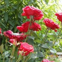 Букет роз :: Geghanush A