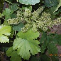 Так цветет винодград :: Geghanush A