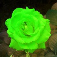 Зеленые розы - щедрость, изобилие и плодовитость. :: Юрий Гайворонский
