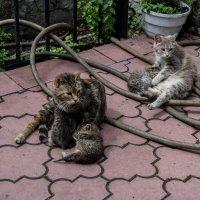 Кошки Крыма :: Сергей Волков