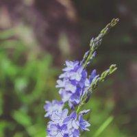 синенький цветочек :: Юлёна Рачкова