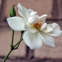 Роза :: Светлана З