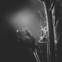 В траве сидел кузнечик :: Антон Опанасюк