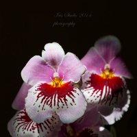 Orchideceae-Miltonia :: Ирина Котенева