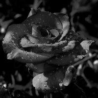роза ч/б :: valera knysh