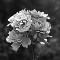 Садовые розы :: alisa kuznechik