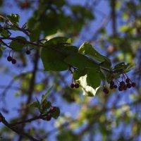 Северные яблочки :: Виталий Житков
