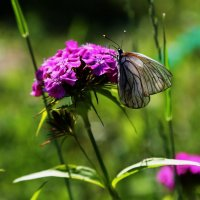 Бабочка :: Виталий Житков