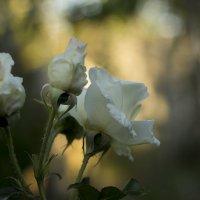 розы :: Vitaliy Kononov