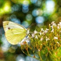 Еще одна бабочка..... :: Ольга Ламзина