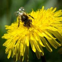 Пчела на работе :: Krystyna Tykhonova