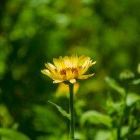 просто цветок :: Maryna Krywa