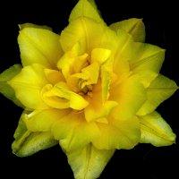 Мои 6 соток (Махровый тюльпан) :: Viacheslav