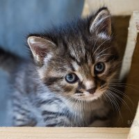 Взгляд котенка :: Юлия Батурина