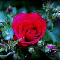 Роза :: Kirill Kulik