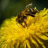 Пчела в одуванчике :: Krystyna Tykhonova