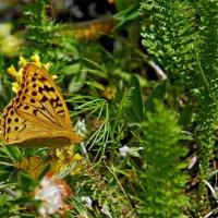 бабочка :: Сергей Леонтьев