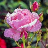 Роза :: Павел
