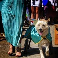 На выставке исторического костюма для собак :: Елена Панькина