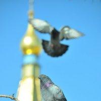 голуби :: Ольга Степанова