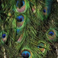 Peacock Feathers :: galidob