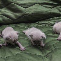 Во какие Мы-из серии кошки очарование моё :: Shmual Hava Retro