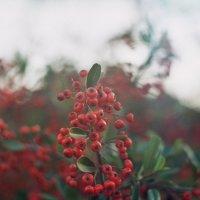 ягоды :: Алексей Гимпель