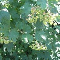 зеленые ягодки :: Валентина Миленина