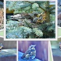 Гнездо серых дроздов. Полная история. :: Виталий Половинко