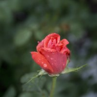 Роза после дождя :: Наталья Петрова